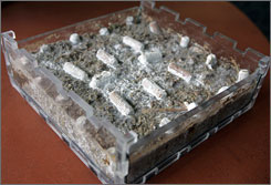 An example of organic insulation. The 'Greensulate' formula is an organic, fire-retardant board made of water, flour, oyster mushroom spores and perlite, a mineral blend found in potting soil.