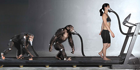"""An homage to the iconic """"Evolution of Man"""" imagery depicts the measurement of oxygen consumption during walking in quadrupedal and bipedal chimpanzees and in humans."""