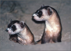Two juvenile black-footed ferrets periscoping from a white-tailed prairie dog burrow in Shirley Basin, Wyoming. The once endangered black-footed ferret is repopulating its Wyoming homeland.