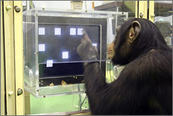 A chimpanzee named Ayumu performs the second stage of a memory test in which he must recall the location on a touch sensitive monitor of numerals that have changed to squares.
