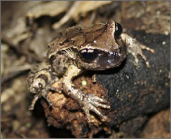 A Maud Island frog is seen at the Karori Wildlife Sanctuary in Wellington, New Zealand.  The fingernail-sized frogs  do not croak, live in water or have webbed feet.