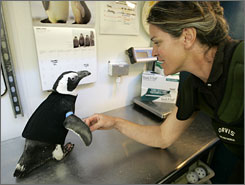 Pierre the Penguin, 25, wears his wetsuit as he walks with help from aquatic biologist Pam Schaller at the Academy of Sciences in San Francisc. Pierre, who was going bald, has begun growing back his feathers.
