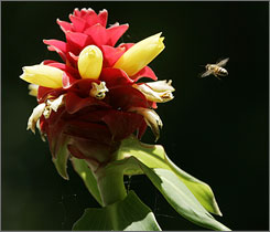 A bee circles a tropical flower at the Fairchild Tropical Botanic Gardens in Coral Gables, Fla. A survey of bee health found losses of about 36% of commercially managed hives last year.