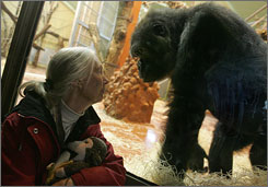 Jane Goodall peers at a gorilla in front of a window at the Zoo Park and Botanic Garden in Budapest in February. Goodall presented a petition to lawmakers at the European Parliament to find methods of testing that do not involve animals.