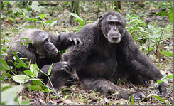 A pair of male chimps groom each other at Kibale National Park, Uganda. Researchers studying people's closest genetic relatives found that stress was reduced in chimps that were victims of aggression if a third chimp stepped in to offer consolation.