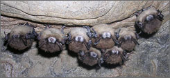 "Bats are dying off by the thousands as they hibernate in caves and mines around New York and Vermont, sending researchers scrambling to find the cause of a mysterious condition dubbed ""white-nose syndrome."""