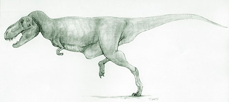 The Tarbosaurus   related to the giant carnivorous Tyrannosaurus  is shown.  The dinosaur is believed to have died at age five and measured about 6.6 feet long.  Adult dinosaurs of the species are believed to have grown up to 40 feet.