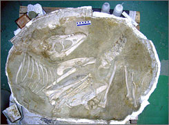 A fossilized complete skeleton of a 70-million-year-old young dinosaur recovered in August, 2006 in the Gobi Desert in Mongolia.