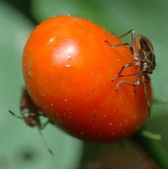 Two hemipteran bugs attack the ripened fruit of a chili plant, and scars from previous attacks are visible. Such attacks leave the fruit open to a fungal infestation that can kill the plant's seeds.