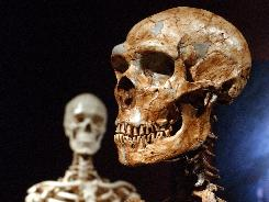 A reconstructed Neanderthal skeleton, right, and a modern human version of a skeleton, left, at the Museum of Natural History in New York in 2003.