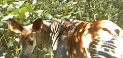 The first image of a rare okapi to be photographed in the wild in Congo's Virunga Forest August 10, 2008. Conservationists in Congo have taken the first photographs shot in the wild of the endangered okapi, a deer-like animal so shy it had not been seen in its natural habitat for 50 years, the Zoological Society of London said on Thursday. Picture taken August 10, 2008.