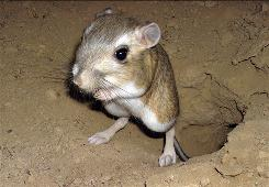 A giant kangaroo rat in a photo provided by the Nature Conservancy. Scientists are turning to satellite technology to determine how climate change and rainfall patterns are affecting the endangered species' remaining habitat.