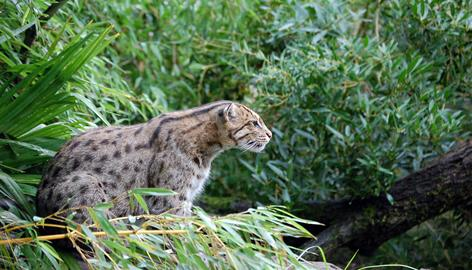 A fishing cat (Prionailurus viverrinus), one of the world's mammals that is declining in population. More than a third are probably threatened with extinction.
