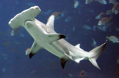 A hammerhead shark at the Georgia Aquarium in Atlanta. The first documented case of asexual reproduction, or parthenogenesis, among sharks involved a pup born to a hammerhead at an Omaha zoo. Now a female Atlantic blacktip shark in Virginia bore a pup that contained no genetic material from a male.