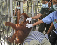 Officers of Sumatran Orangutan Conservation Program (SOCP) try to grab Jhon, an 11-year-old orangutan, who clings to his cage to be released into the wild at a quarantine station in Sibolangit, North Sumatra, Indonesia.