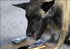 Razor, a dog that can detect cell phones, poses with phones he found hidden in a box during a demonstration at the Broward Correctional Institution in Ft. Lauderdale, Fla.