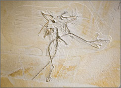 An ancient creature: The Archaeopteryx's wings were broken and crooked as it was pressed into the sand at the bottom of a lagoon in Germany millions of years ago.