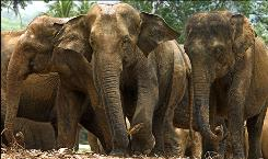 A herd of Asian elephants are seen in Malaysia's Taman Negara National Park in Pahang state, Malaysia. Researchers said Thursday, Jan. 15, 2009 they have found a surprisingly large elephant population in Malaysia's biggest national park after new survey techniques revealed a community of more than 600 animals.
