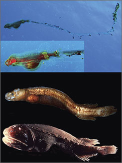 From top, tapetail postlarval stage of cetomimid whalefish off Cozumel, Mexico; adult male of cetomimid whalefish from the Gulf of Mexico; and juvenile female of cetomimid whalefish from the eastern North Pacific. Researchers believe they have solved the puzzle of three seemingly different fish, one all males, one all females and on all juveniles. They are the same fish, an undergo remarkable changes as they mature.