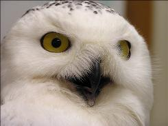 A Snowy Owl's eyes are about the same size as a human's, but in its smaller head they are impressive.