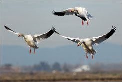 This undated photo courtesy of the Cornell Lab of Ornithology shows Snow geese landing near Roseville, Calif. An Audubon Society study shows the Snow goose is spending the winter more that 200 miles farther north than it used to in 1966.