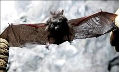 """Scott Crocoll holds a dead Indiana bat in an abandoned mine in Rosendale, N.Y., in this January 2009 file photo.  Bats afflicted with deadly """"white-nose syndrome"""" might be able to make it through winter with the help of heated boxes placed in hibernation caves, a pair of researchers say."""
