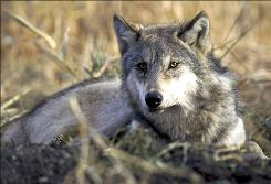 A gray wolf rests in tall grass in this undated photo provided by the U.S. Fish and Wildlife Service.