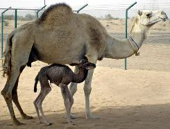 This undated picture made available by Dubai's Camel Reproduction Center shows the first cloned camel, called Achievement or Injaz in Arabic, who was born on April 8 after an uncomplicated gestation of 378 days, the Camel Reproduction Center said in a press release.