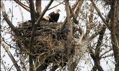 A pair of bald eagles sit on their nest in a swamp area near the Ohio River and Henderson, Ky. on Thursday, April 23, 2009. From observation there is at least on chick in the nest.