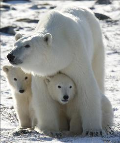 In this Nov. 6, 2007 file photo, a polar bear mother stands with her two cubs in Wapusk National Park on the shore of Hudson Bay near Churchill, Manitoba, Canada.  