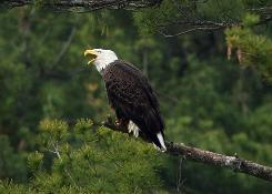 A bald eagle cries out while perched in white pine near the Great Salt Bay, Friday, May 15, 2009, in Newcastle, Maine. Some bird experts say the eagles are flying to Maine's remote rocky islands where they've been raiding the only known nesting colonies of great cormorants in the U.S.