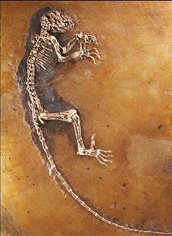 "This photo shows a 47 million year-old skeleton of the most complete fossil primate ever found, unveiled May 19, 2009 at the American Museum of Natural History in New York. The University of Oslo and the Senckenbert Research Institute revealed the young female specimen, nicknamed ""Ida"", which was found in Germany's Messel Pit."