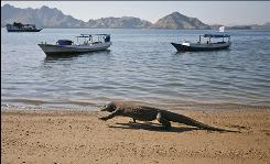 In this photo taken on April 30, 2009, a Komodo dragon walks on a beach on Komodo island, Indonesia. Attacks on humans by Komodo dragons - said to number at around 2,500 in the wild - are rare, but seem to have increased in recent years. Komodo dragons have a fearsome reputation worldwide because their shark-like teeth and poisonous saliva can kill a person within days of a bite.