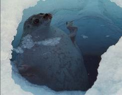A ringed seal -- a favorite prey of polar bears -- takes a quick breath before returning to safety below the ice.