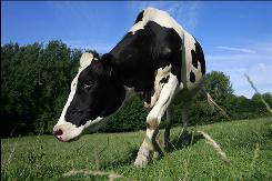 A Holstein cow grazes in a pasture near the Capron family farm in Rebreuve sur Canche, northern France. 