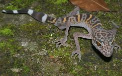 A Cat Ba leopard gecko, known by its scientific name Goniurosaurus catbaensis, is seen in Cat Ba Island National Park in northern Vietnam. This species was among 163 new species discovered last year in Greater Mekong region.