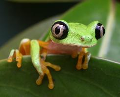 A type of lemur frog, Phyllomedusa lemur, that is threatened by the chytridiomycosis fungus.