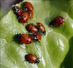 Ladybugs sit on a leaf.