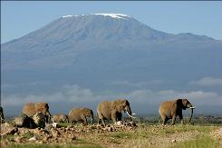A herd of elephants walk backdropped by Mount Kilimanjaro in Amboseli game park in Kenya in this May 21, 2006 file photo.
