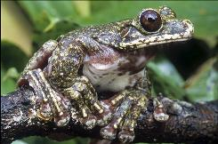 This undated file photo provided Tuesday, Nov. 3, 2009 by the International Union for Conservation of Nature shows a Rabbs Fringe-limbed Treefrog, Ecnomiohyla rabborum. The frog, which only became known to scientists four years ago, is one of 1,895 amphibian species that could soon disappear in the wild, IUCN said.