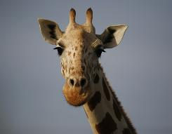 In this Saturday, Aug. 1, 2009 photo, a giraffe from Africa's most endangered giraffe subspecies stands in the bush near Koure, Niger. By all accounts, they should be extinct. Instead, their numbers have quadrupled to 200 since 1996, an unlikely boon experts credit to the concurrence of an impoverished government keen for revenue that has enacted laws to protected them, a conservation program that encourages people to support them, and a rare harmony with humans who have accepted their presence.