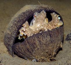 A veined octopus, Amphioctopus marginatus, hides in an coconut shell. Australian scientists have filmed the octopus collecting coconut shells for shelter, unusually sophisticated behavior that the researchers believe is the first evidence of tool use in an invertebrate animal.