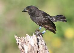 A Darwin's Finch.