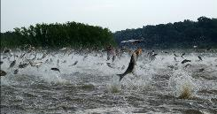 This early Dec. 2009 file photo provided by the Illinois River Biological Station via the Detroit Free Press shows Illinois River silver carp jump out of the water after being disturbed by sounds of watercraft.