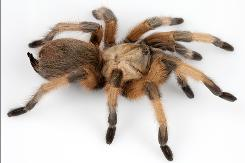A photo of Aphonopelma moderatum, a species from Texas that fetches a fairly steep price for adults. This spider is still relatively common throughout its range, but anecdotal observations suggest that cerain areas are being hit hard by collectors. Spiders can no longer be found in some areas where they were incredibly common just 10 years ago.