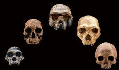 Five fossil human skulls show how the shape of the face and braincase of early humans changed over the past 2.5 million years. (from left to right: Australopithecus africanus, 2.5 million years old; Homo rudolfensis, 1.9 million years old; Homo erectus, ~ 1 million years old; Homo heidelbergensis, ~350,000 years old; Homo sapiens, ~ 4,800 years old)
