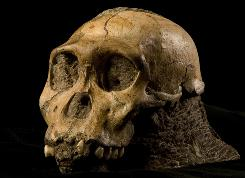 This undated handout photo provided by the journal 'Science' shows the U.W. 88-50 cranium. Two skeletons nearly 2 million years old and unearthed in South Africa are part of a previously unknown species that scientists say fits the transition from ancient apes to modern humans.