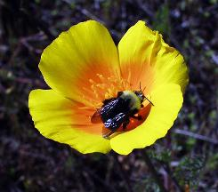 In this photo provided by Xerces Society, a bumblebee flies by a flower. The Xerces Society for Invertebrate Conservation and University of California at Davis entomologist Robbin Thorp on Wednesday formally petitioned the U.S. Fish and Wildlife Service to protect Franklin's bumblebee under the Endangered Species Act.