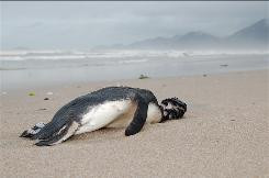 In this photo released by Aquario Municipal de Peruibe, a dead penguin sits on the sand at Peruibe beach in Sao Paulo state, Brazil. Hundreds of penguins that apparently starved to death are washing up on the beaches of Brazil, worrying scientists who are still investigating what's causing them to die.