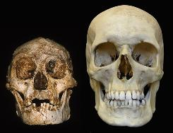 A hobbit skull, left, next to the skull of a human.